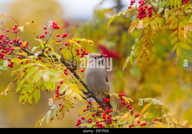 Waxwing, Bombycilla garrulus, sitting in a rowantree in autumn season and eating rowanberries and have on in his - Stock Image
