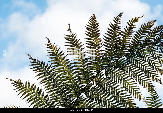 Tree fern frond pattern against blue sky - Stock Image