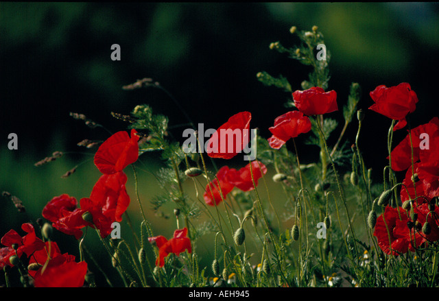 poppy. Photo by Willy Matheisl - Stock Image