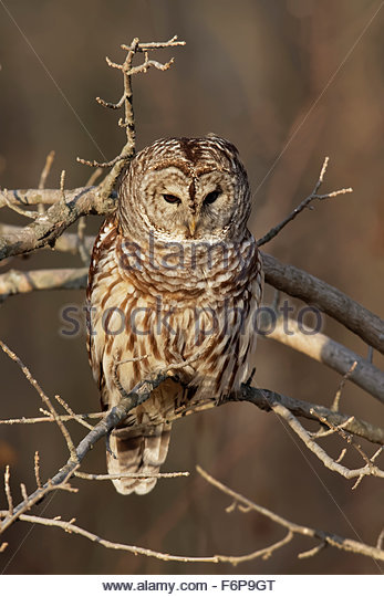 Barred Owl - Stock Image