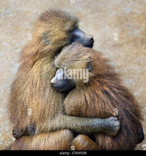 Guinea Baboon couple, Cabarceno, Spain - Stock-Bilder