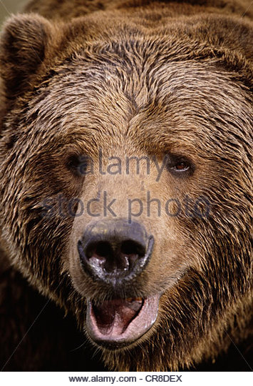 Brown bear portrait, Alaska - Stock Image