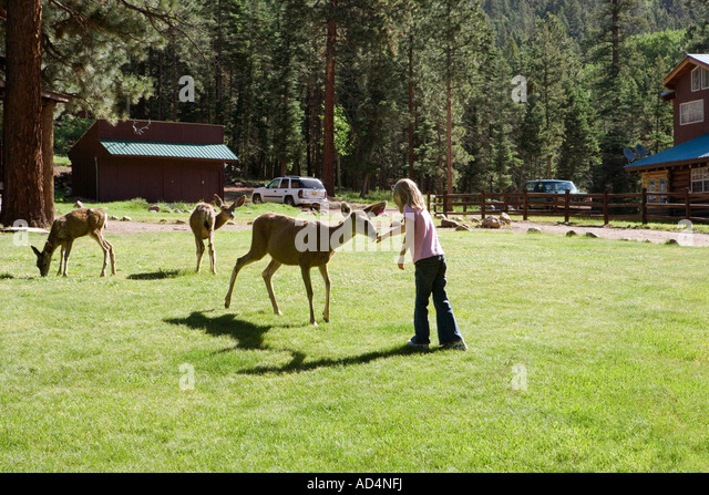 A young girl feeding deer - Stock-Bilder