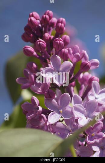 Syringa vulgaris, Lilac - Stock Image