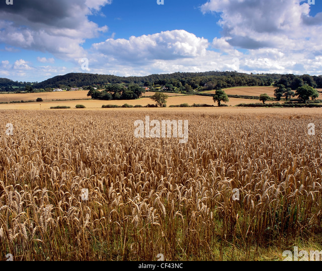 A field of ripening wheat near Bulkeley. - Stock Image