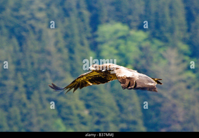 Juvenile Bald Eagle soars over Olympic National Park Washington - Stock Image