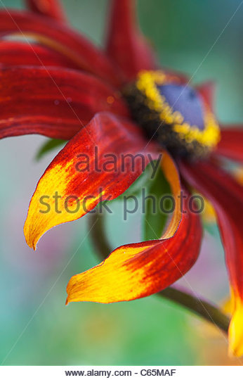 Rudbeckia hirta Moreno . Black-eyed Susan Moreno coneflower abstract - Stock-Bilder
