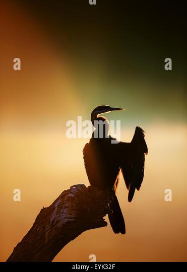Darter (Anhinga melanogaster) with sunrise reflecting over misty river - Kruger National Park (South Africa) - Stock Image