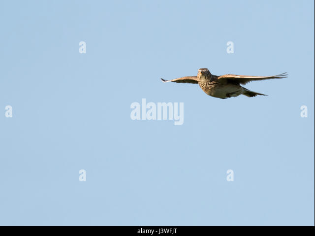 A Skylark (Alauda arvensis) hovers in the evening sunshine, Pembrokeshire - Stock Image