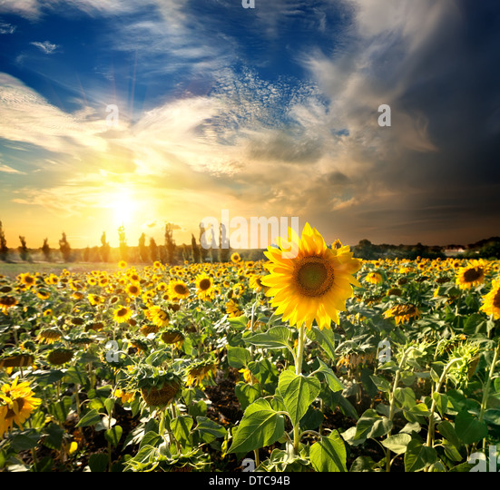 Field of blossoming sunflowers at the sunset - Stock Image