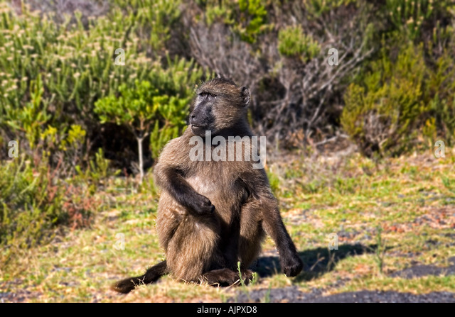 south africa western cape cape of good hope chacma Baboon - Stock Image