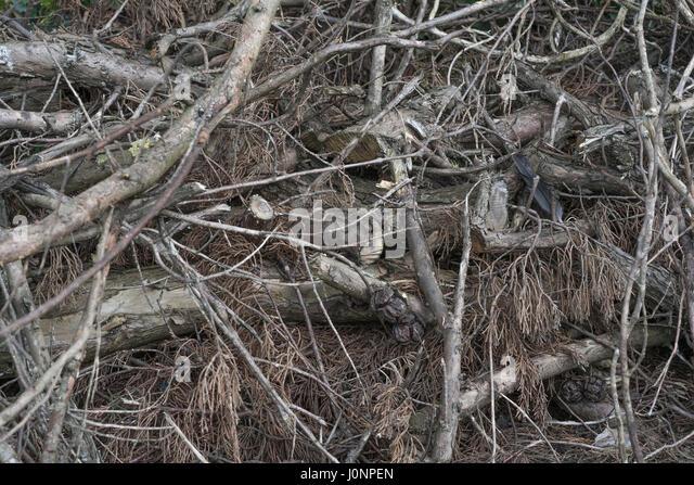 Pile of coniferous brushwood after logging. - Stock Image