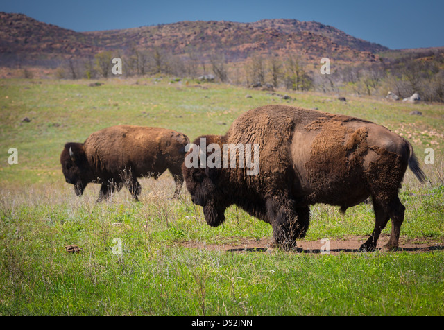 Roaming bison in Wichita Mountains Wildlife Refuge, Oklahoma - Stock-Bilder