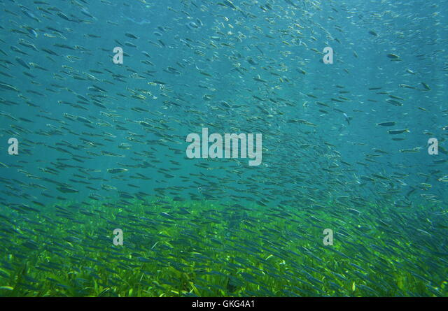 Juvenile fish school underwater sea over seabed with seagrass, Atlantic ocean, Florida - Stock Image