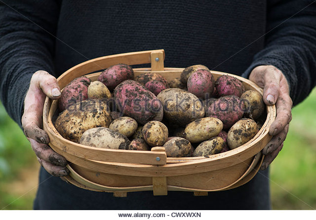 Gardener holding a wooden trug of harvested King Edward and Desiree potatoes - Stock Image