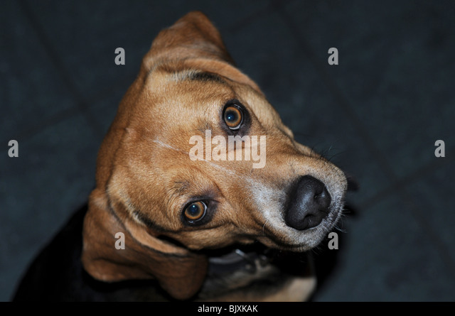 Gun To Dogs Head Stock Photos & Gun To Dogs Head Stock ...