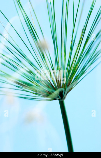 Abstract shot of papyrus grass ' Cyperus papyrus' against a soft blue background - Stock Image
