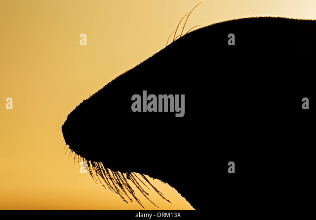 A close-up side profile silhouette of an adult female Grey seal at sunrise, North Sea coast, Norfolk, England - Stock Image