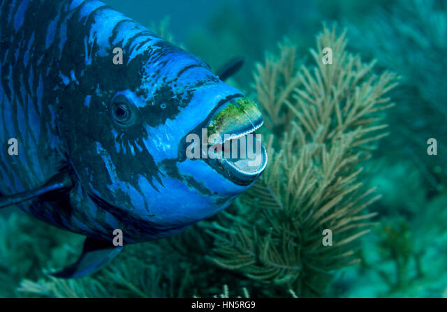 Midnight parrotfish with open mouth appears to be laughing. - Stock-Bilder