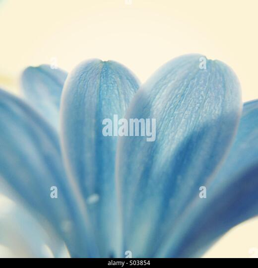 Macro of the petals of a blue Osteospermum flower. - Stock Image