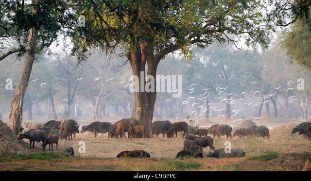 Herd of buffalo (Syncerus caffer) grazing in Mana Pools National Park Mashonaland North Province, Zimbabwe - Stock Image
