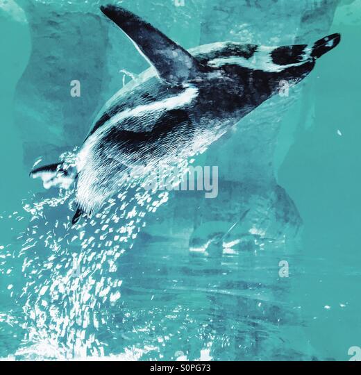 Upside down underwater penguin - Stock Image