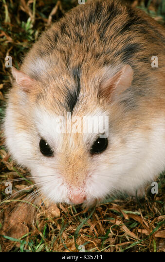 Roborovski or Desert Hamster Phodopus roborovski. Portrait showing white patches above the eyes, and lack of a dorsal - Stock Image