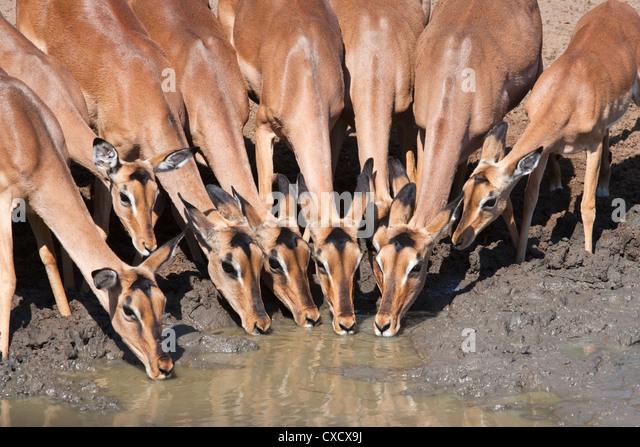 Impala (Aepyceros melampus), females at waterhole, Mkhuze Game Reserve, South Africa, Africa - Stock Image