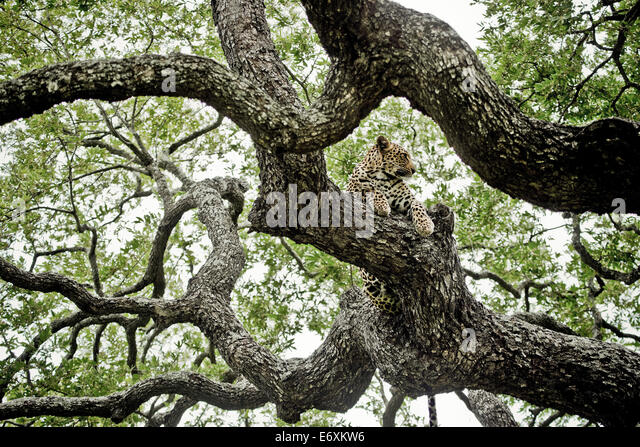 Leopard in an ebony tree, Sabi Sands Game Reserve, South Africa, Africa - Stock Image