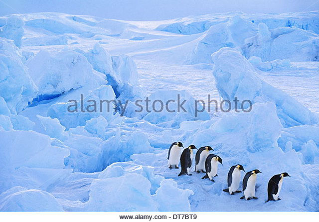 Emperor penguins moving across sea ice Aptenodytes forsteri Antarctica Antarctica - Stock Image