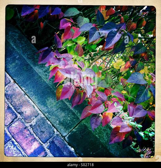 Purple leaves and brick wall - Stock Image