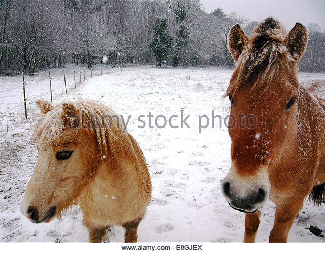 Two horses standing in a field in snow, France - Stock Image
