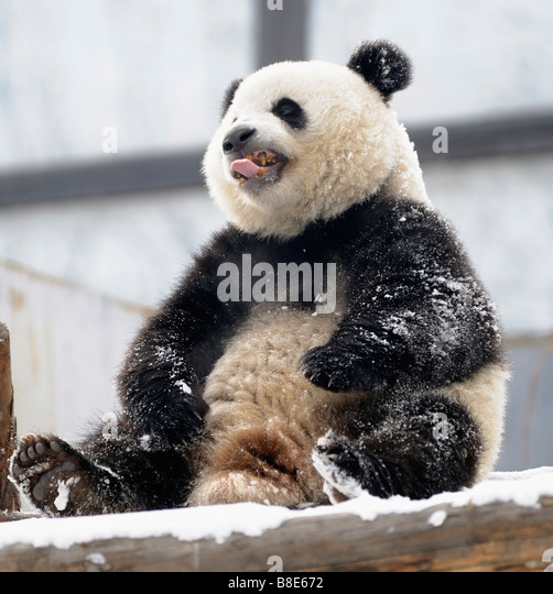 A giant panda at the Beijing Zoo. 19-Feb-2009 - Stock Image