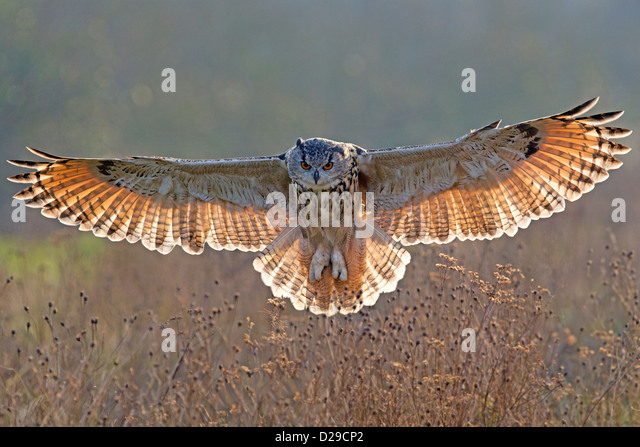 European Eagle Owl with wings spread, backlit - Stock Image