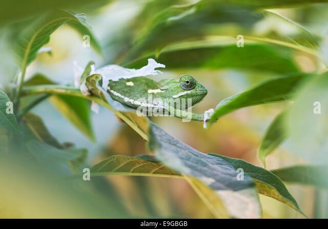 Flap-necked Chameleon (Chamaeleo dilepis) shedding its skin in a shrub in Livingstone, Zambia - Stock Image
