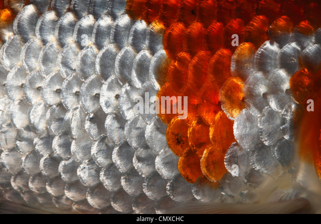 Fish scales koi carp close stock photos fish scales koi for Koi fish scales