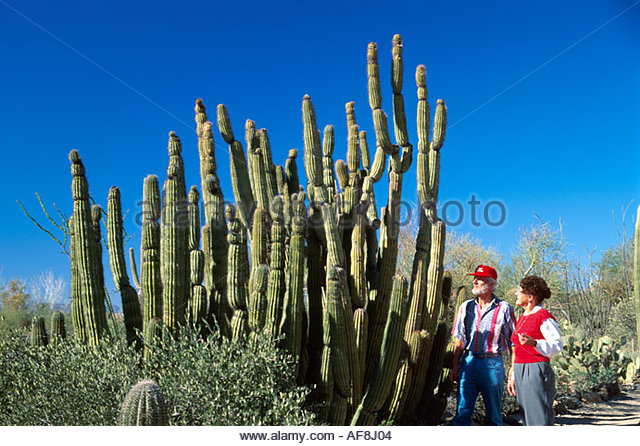 Arizona Tucson Arizona Sonora Desert Museum organ pipe cactus visitors - Stock Image