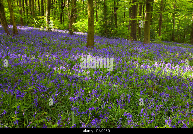 Carpet of Bluebells in woodland near Chesterfield Derbyshire East Midlands England United Kingdom - Stock Image