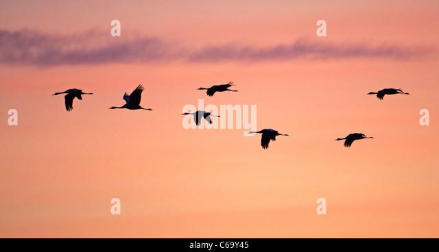 Common Crane, Eurasian Crane (Grus grus), migrating flock in flight, seen against a colorful morning sky. - Stock-Bilder