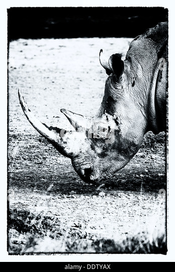Single white rhino grazing: detail of head, side  view in stylised monochrome, Lake Nakuru, Kenya - Stock Image