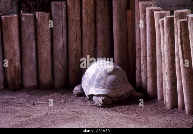 giant tortoise - Stock Image