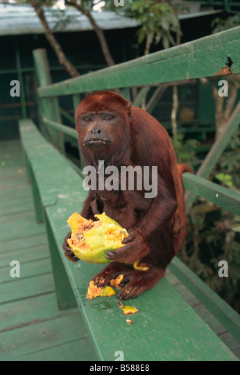 Female monkey Amazon area Brazil South America - Stock Image