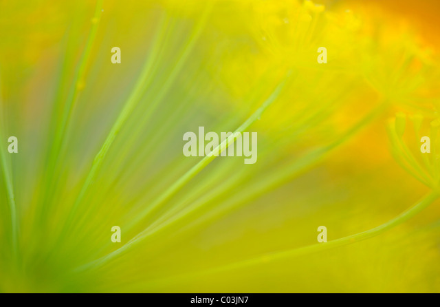 Parsnip (Pastinaca sativa), flower with a wipe effect - Stock Image