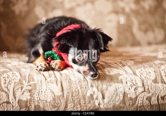 portrait of dog wearing scarf - Stock Image