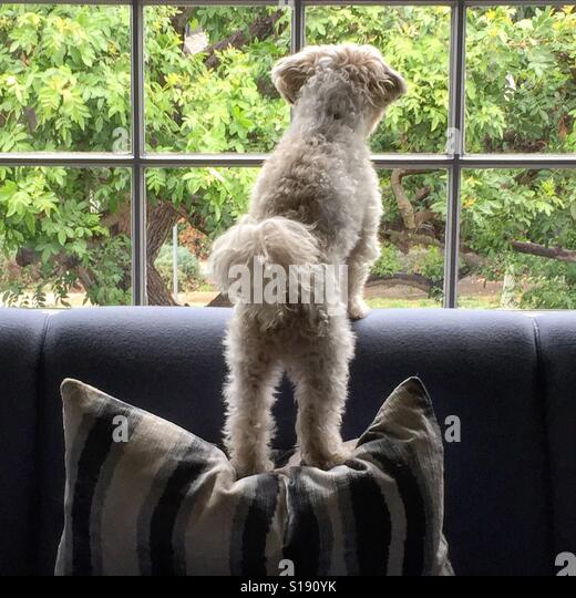 Dog looking out window - Stock-Bilder