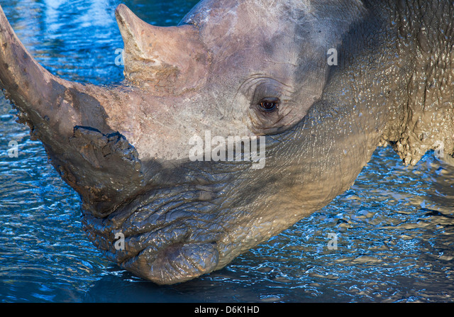 White rhino (Ceratotherium simum) at waterhole, Mkhuze Game Reserve, KwaZulu Natal, South Africa, Africa - Stock Image