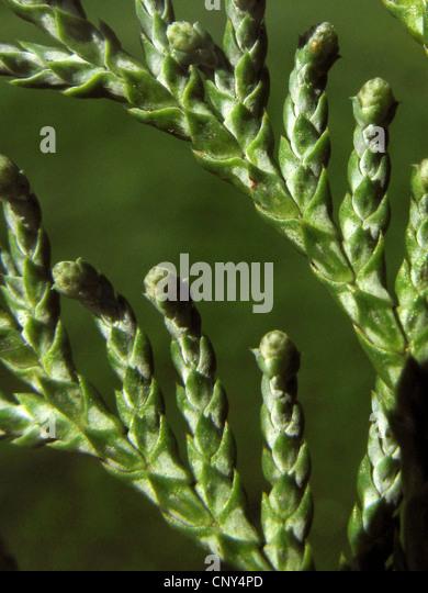 sawara falsecypress (Chamaecyparis pisifera), twig with young cones - Stock Image