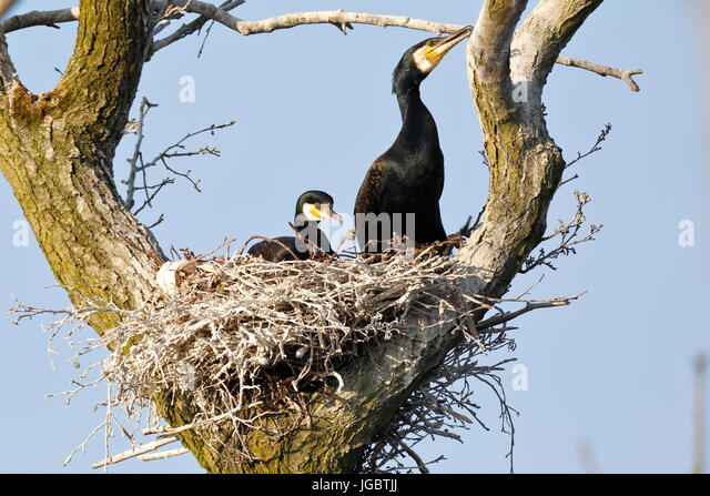 Great cormorants (Phalacrocorax carbo), couple in nest in tree, nature river area Peenetal, Mecklenburg-Western - Stock Image