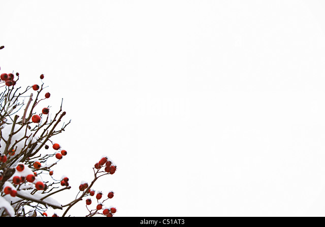 red fruits on bush in winter - Stock Image