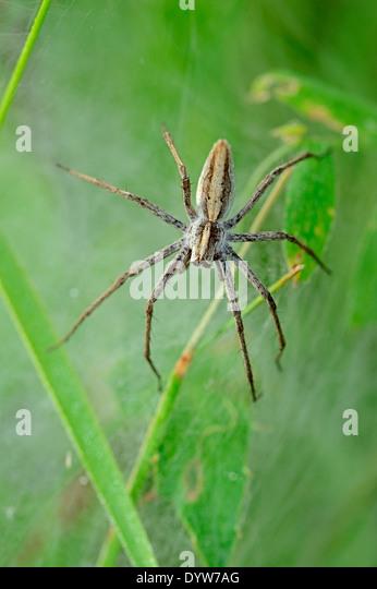 Nursery Web Spider (Pisaura mirabilis), female guarding youngs under tissue, North Rhine-Westphalia, Germany - Stock Image